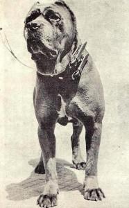 cane corso italien