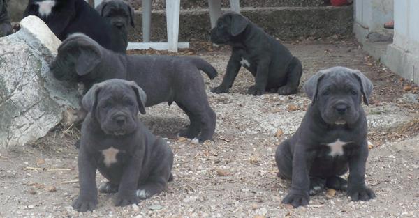 Chiots Cane Corso à Vendre éleveur Canin Du Paca Lélevage Cane