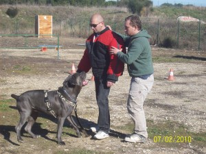 dressage cane corso