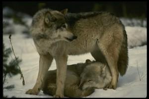 loup ancêtres des chiens